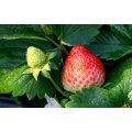 IQF Einfrieren Organische Erdbeere HS-16090903