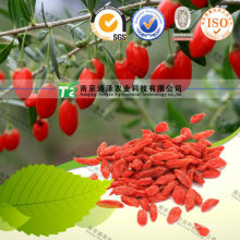 Suministro del fabricante Herb Medicine Barbary Wolfberry Fruit Goji Berry