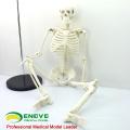 SKELETON06 (12366) Medical Science Classic Medical Anatomy Estándar 85cm Humano Skeleton Model Manikin