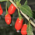 Organic Medlar Health Food Chinese Wolfberry--220PCS/50g