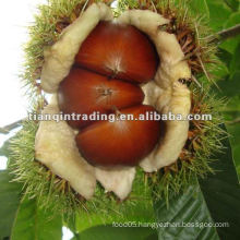 fresh Chinese Chestnut 2011