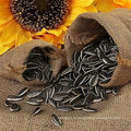 Wholesale graines de tournesol hybird
