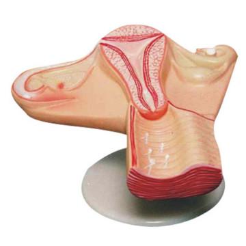 O útero do modelo de anatomia médica do processo de concepção feminina (R110404)