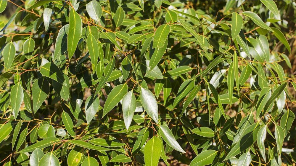 Natural Eucalyptus Essential Oil