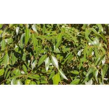 Eukalyptus ätherisches Öl 10ml