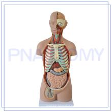 PNT-0311 85CM cabeza humana cuello torso modelo 3d anatomía modelo médico simulador