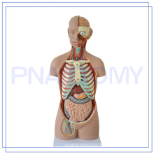 PNT-0311 85CM humain torse cou modèle 3d anatomie modèle médical simulateur