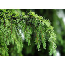 Anti-wrinkle Pine Needle Extract / Chinese Herbal Extract For Food Additives