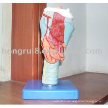 Modelo anatómico laríngeo, modelo de laringe, modelo de garganta