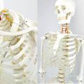 SKELETON01-1 (12361-1) Medical Science Flexible Skeleton Life-size 170cm Medical Anatomical Skeleton Models