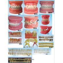 Matériel oral d'éducation scientifique Modèle orthodontique Modèle dentaire