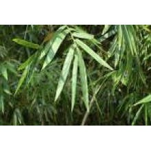 Bamboo Leaf Flavone & Bamboo Leaf Extract
