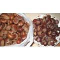 Chestnut fresco crudo orgánico con el precio más competitivo