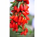 venda quente fresco goji berry cheio de vitamina