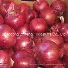 Nouvelle récolte d'oignon chinois frais