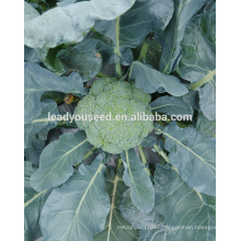 MBR01 Bizhu 58 days f1 hybrid chinese broccoli seeds for planting