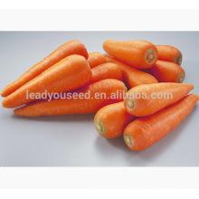 CA02 Hongfushi cinco polegadas novas sementes de cenoura kuroda para o cultivo