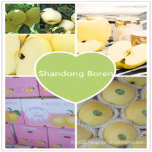 2015 Fresh Chinese Exporting Standard Golden Apple