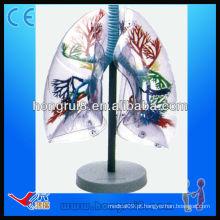 Modelo de segmentos de pulmão de anatomia humana transparente ISO Transparente