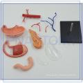 PNT-0459 corps de la fonction de l'estomac