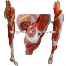 Músculos de la pierna de la anatomía del ISO con los recipientes y los nervios principales