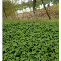 Ouchhealthy Supply Trifolium repens L semi