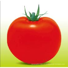 HT22 Tong grande taille déterminée croissance f1 hybride graines de tomate à haut rendement