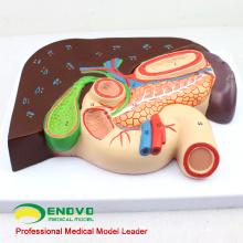VISCERA02 (12539) Fígado de tamanho natural com modelo anatômico de vesícula biliar, pâncreas e duodeno