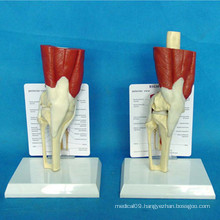 Human Knee Joint Muscle Medical Anatomy Model for Teaching (R040105)
