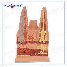 PNT-0476 vilosidades intestinais direto da fábrica organizar modelo para estudantes e médicos