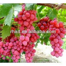 fresh grapes red globe