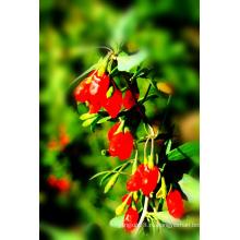 Суперпродукт сушеные ягоды Годжи в Нинся--380grains/50г