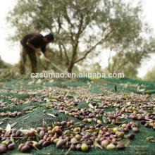 Hochwertige Olivenbäume sammeln Netze
