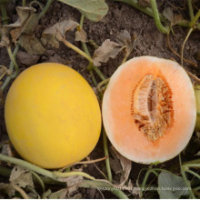HSM22 Qianqi round golden yellow F1 hybrid sweet melon seeds