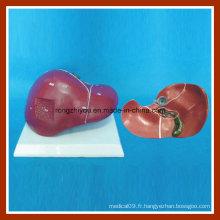 Modèle d'enseignement de l'anatomie du foie humain