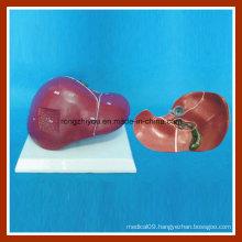 Human Liver Anatomy Teaching Model
