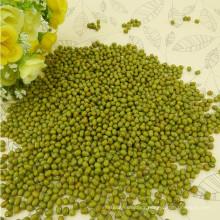 Bien seleccionado pequeño frijol mungo verde