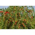 Baya orgánica de Goji certificada por el USDA, Ningxia Goji Berry, Chinese Wolfberry