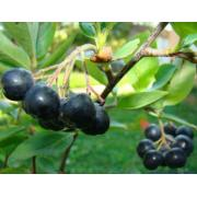 Antioxidant-Rich Superfood Acai Berry Extract