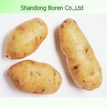 Proporcionarle la patata de alta calidad