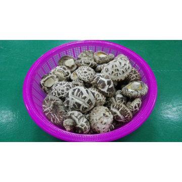 Alimento seco de vegetales proveedor White Flower Shiitake hongos plantador