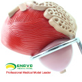 UROLOGY08(12428) Human Male Urinary Bladder with Prostate Model - 2 Parts, 3x Life-Size