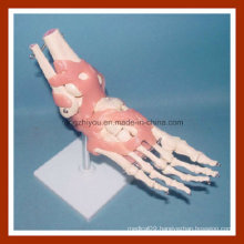 Desk Type Model Life-Size Human Foot Joint Skeleton Model with Ligaments