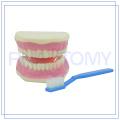 PNT-0520 medical teaching model of teeth training