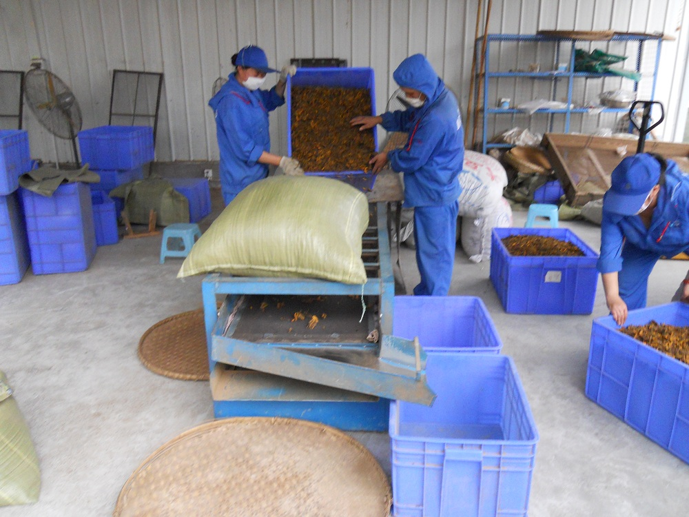 High-Altitude Shizhu Coptis Manufacturer in China