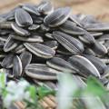 Semillas de girasol crudas con cáscara
