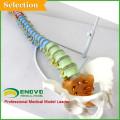 Modèles médicaux en plastique de colonne vertébrale humaine pour l'étude chiropratique d'ostéologie