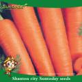 Suntoday vegetal agro highyield híbrido F1 orgánico indio rojo salvaje Nuevo cultivo kuroda de semillas de zanahoria agrícola (51001)