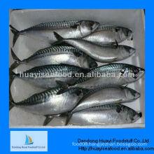 fresh frozen mackerel fish