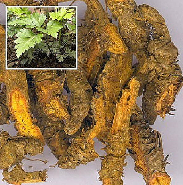 Coptis root Herb raws Medical drug Herb